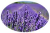 lavender oval